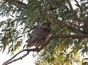 owl-in-tree